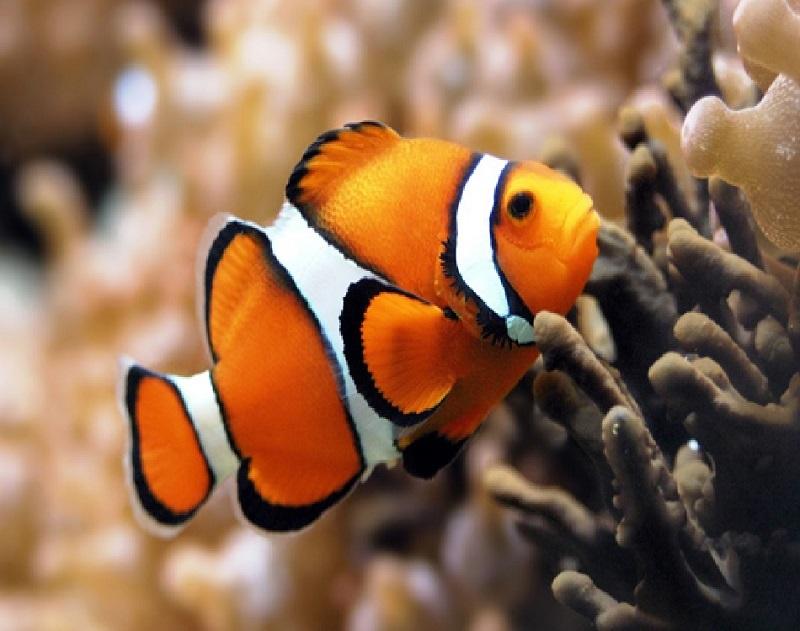 corallini-cervo-PESCE-PAGLIACCIO